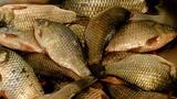 Уловистая насадка для мирной рыбы. Карась. Лещ. Плотва.