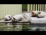 Серые тюлени из Московского зоопарка