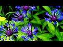 Красивые футажи для видеомонтажа HD Синие цветы