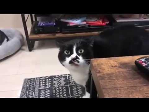 Кот спел грузинские песни!