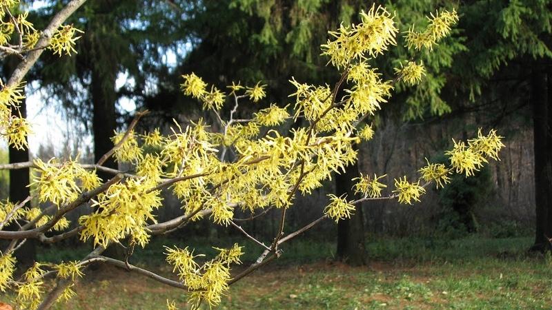 Редкие растения для сада Волшебный орех цветет в ноябре!