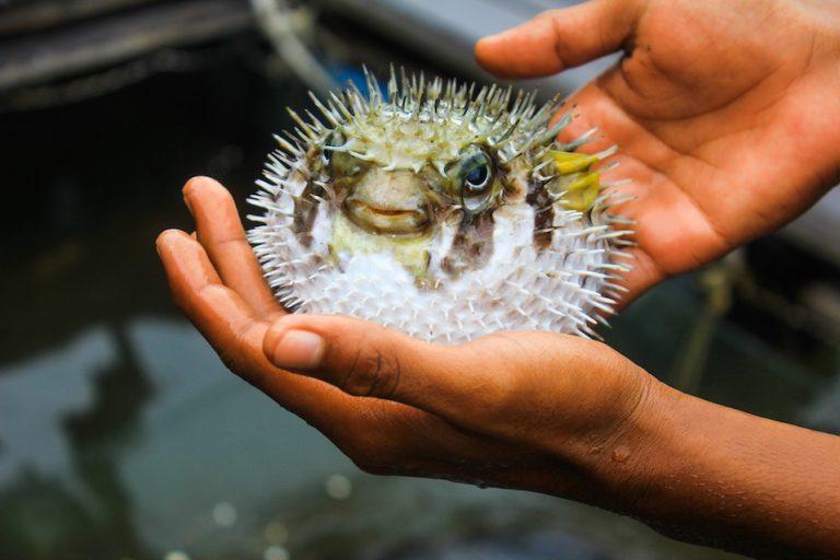 Что такое рыба Фугу?