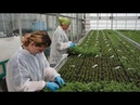 Flower Factory - Flower Production, How Do They Do it