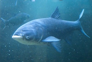 """Толстолобики или толстолобы (лат. Hypophthalmichthys) — род пресноводных рыб семейства карповых. Крупная стайная рыба семейства карповых. Английское название silver carp (""""серебряный карп""""). Раньше он подразделялся на роды Hypophthalmichthys и Aristichthys в составе подсемейства Hypophthalmichthyinae. В роде три современных и один вымерший вид.  При помощи своего цедильного ротового аппарата толстолобик профильтровывает от детрита зацветшую, зелёную и мутную воду. Поэтому, чтобы в пруду была прозрачная вода, помимо фильтрационной системы в водоём запускают толстолобика."""