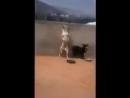Собака танцевака