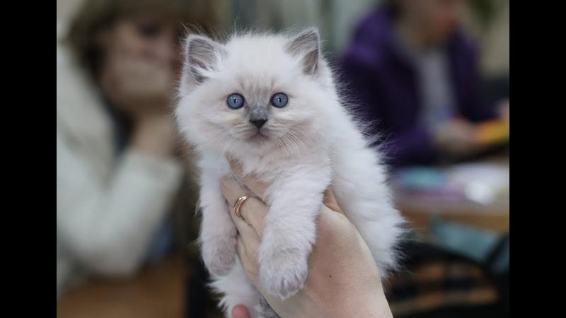 Презентация котят рэгдоллов питомника PCA ДОЛЛС ХАУС