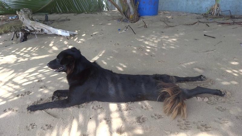 РеальноСобачка загорает на пляжеШри Ланка