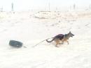 Выработка хватки.Снаряжение мое.Собаки из Казахстана.