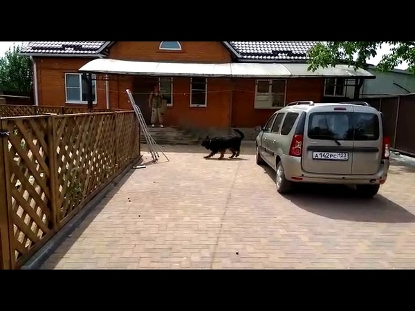 Охрана двора, атака немецкой овчарки.