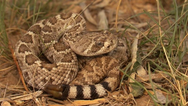 Neonate Western Diamondback Rattlesnake (Crotalus atrox)