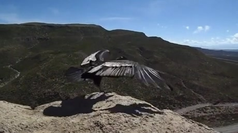 Condor feeling the wind after being released into the wild