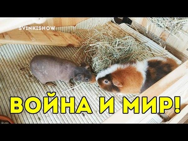 ВОЙНА И МИР! SvinkiShow