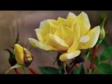 Chovendo na Roseira - Elis Regina