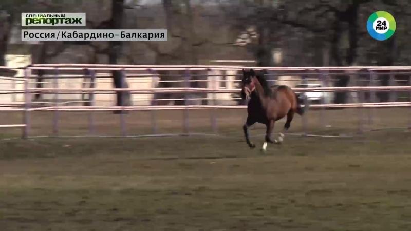 кабардинская порода лошадей / телекомпания МИР / 20.09.2018г.