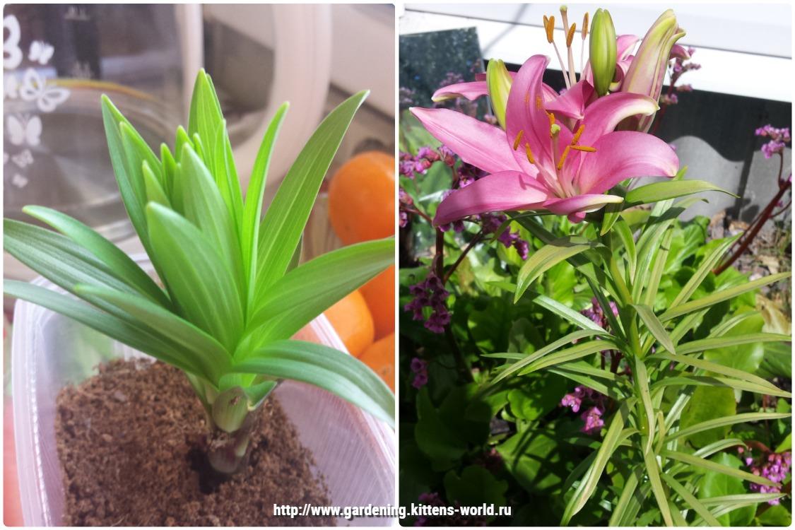 Посадка луковицы лилий дома