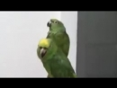 Пьяный дуэт попугаев Умереть не встать