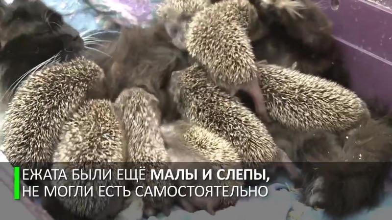"""Мама Муся кошка усыновила восьмерых ёжиков-сирот""""},""""assets"""" {""""css"""" """"_⁄yts_⁄cssbin_⁄player-vfla5p03n_⁄www-player.css"""