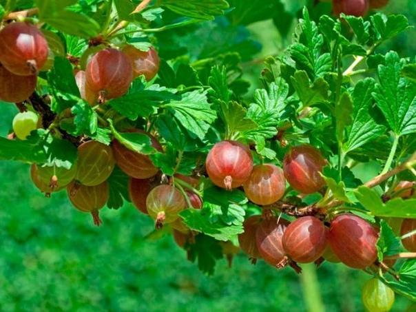 отличный урожай крыжовника в следующем сезоне подготовьте кусты этой осенью! хотите отличный урожай крыжовника в следующем сезоне займитесь подготовкой кустов уже этой осенью. познакомьтесь с