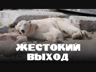 В Таллине усыпили белого медведя