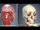 Mimicheskie_myshtsy_litsa__3D_Anatomia_cheloveka__Vnutrennie_organy
