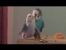 Спаривание волнистых попугаев