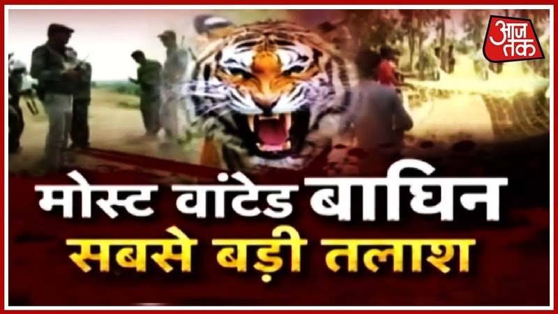 Most Wanted आदमखोर बाघिन के लिए जारी सबसे बड़ा ऑपरेशन | Aa