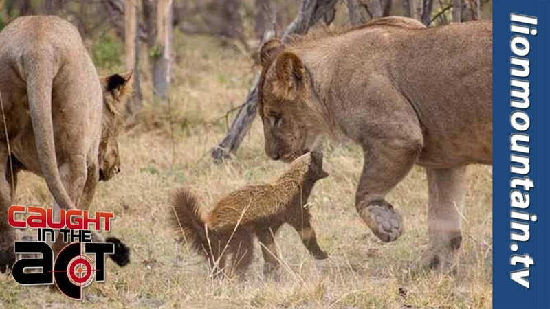 Fearless Honey Badger takes on 6 Lions