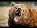 Дикая природа - Опасный Бурый медведь. Документальные фильмы 16.10.2016