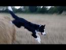 Mon Merlin sait sauter.