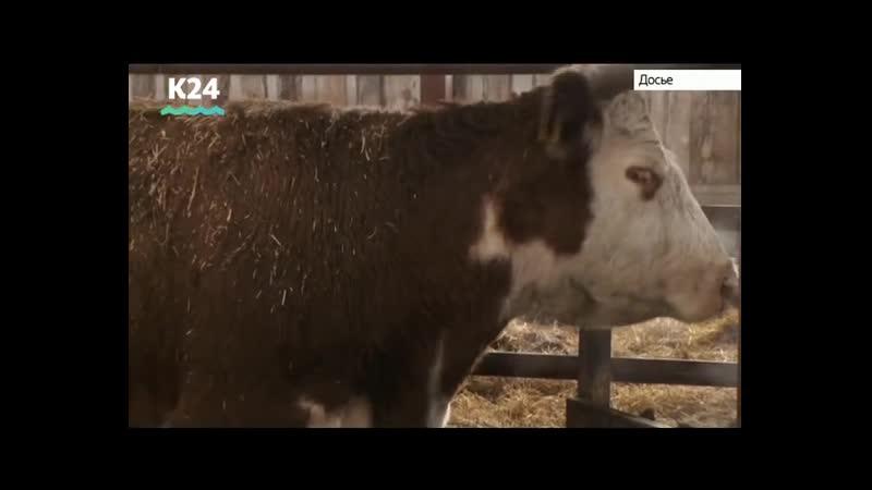Вспышку бешенства у крупного рогатого скота зафиксировали в Алтайском крае