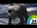 Взрослая жизнь гималайского медвежонка-сироту выпустили в тайгу Приморья - МИР 24