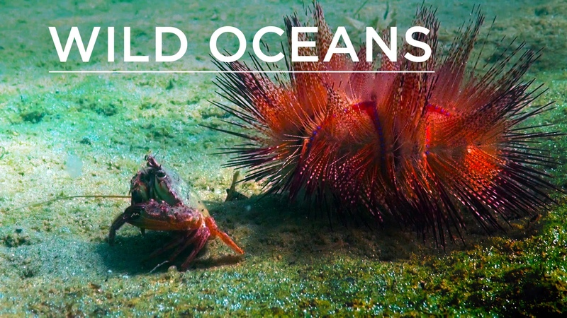Wild Oceans Hermit crabs, camouflaged critters urchin-crab duo