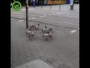 Какие глупые утки Дождались зелёного а переходя дорогу по сторонам не смотрят