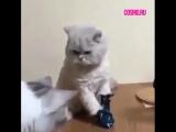 Бокс по-кошачьи