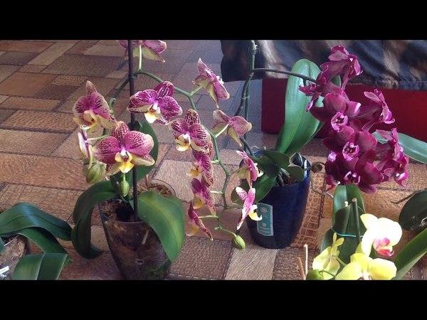 Полное раскрытие орхидей Красота