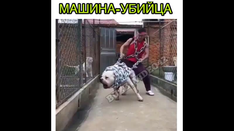 С этой собакой тебе лучше не встречаться