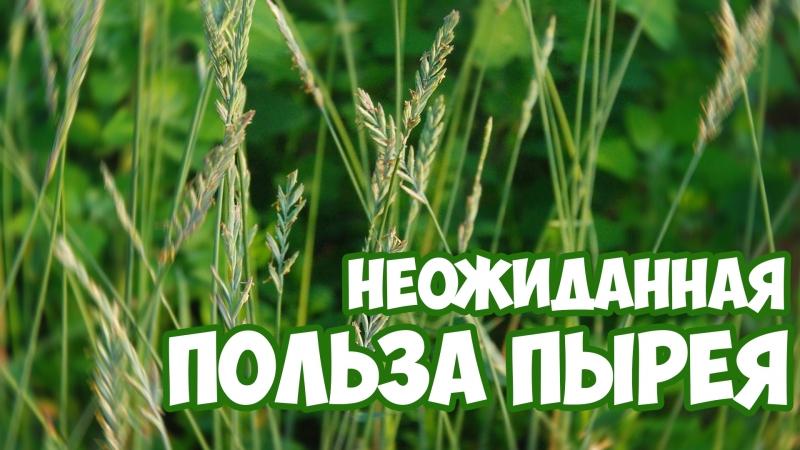 ПЫРЕЙ - полезные свойства | Сад Огород