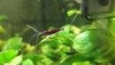Сулавесская креветка Кардинал (caridina dennerle)