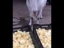 Козочка ест цыплят 😵