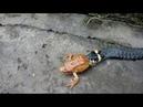Змея съела лягушку живьем!ЖУТЬ