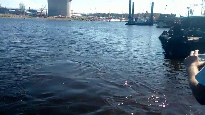 В Выборгском заливе заметили горбатого кита