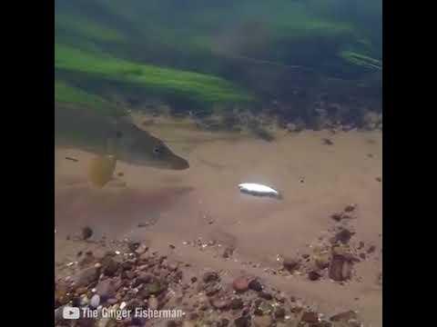 Tatlı su levreği turna canlı balık ile nasıl yakalanır
