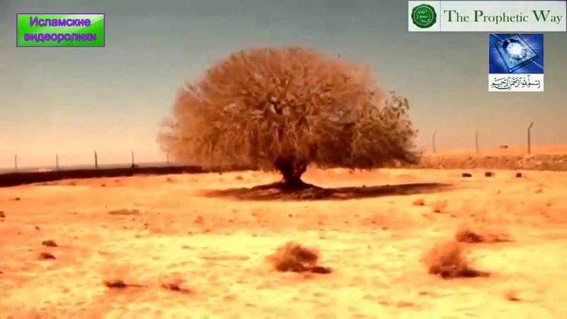 Дерево под которым сидел пророк Мухаммад ( с а в ) не засыхает в пустыни.