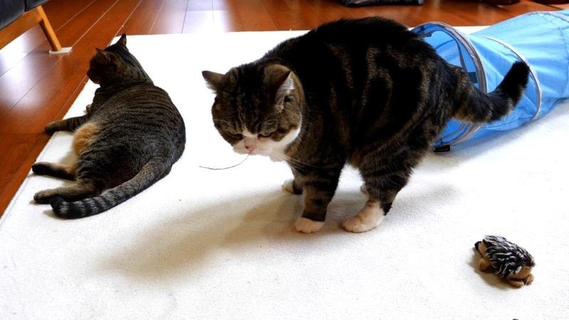 ふみふみクッションが欲しいねこ。-Maru wants the cushion to knead.-