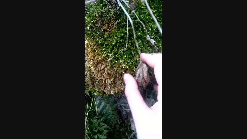 лечу мох