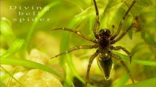 Diving bell spider. Water spider. Argyroneta aquatica.
