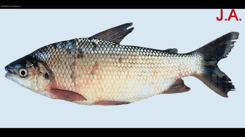 El Pez Bocachico