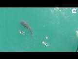 заплыв с тигровой акулой