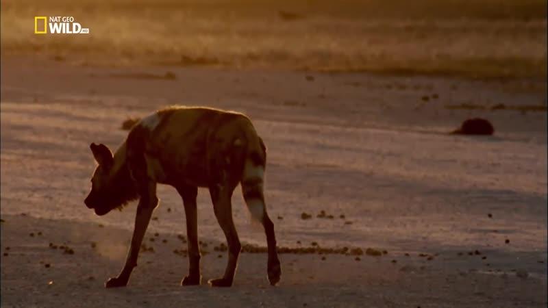 Nat Geo Wild_ История одной гиеновой собаки (1080р)