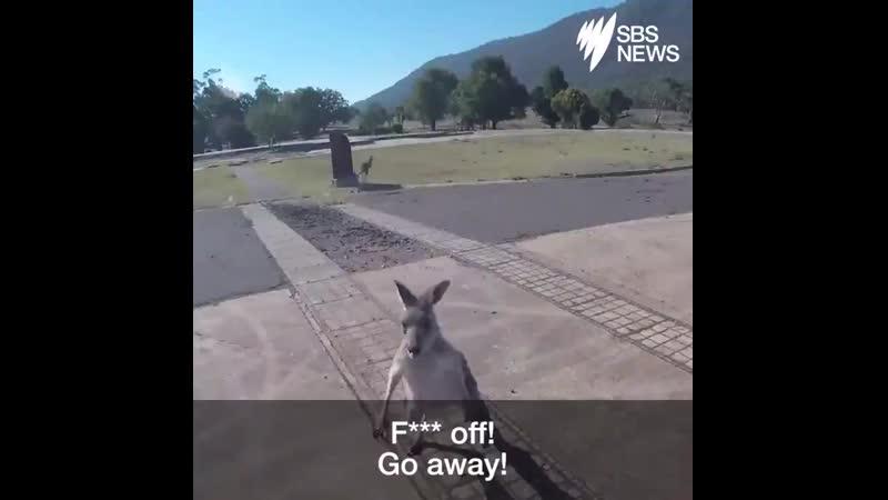 Кенгуру напали на парапланериста в Австралии